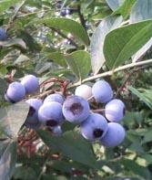 blue berry-1.jpg