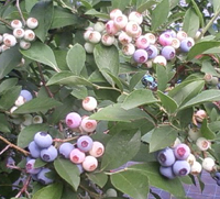 blue berry-2012.08-3.jpg