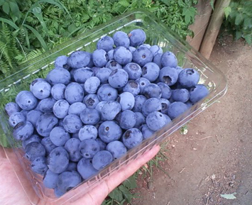 blue berry-2012.08-4.jpg
